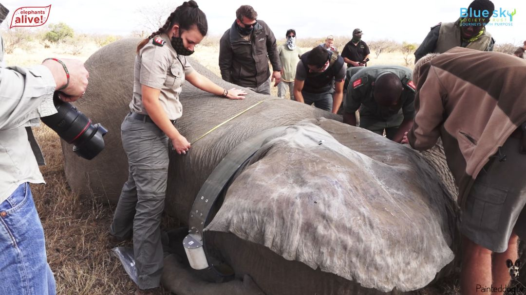 virtual-conservation-painted-dog-tv-27-elephant-collaring