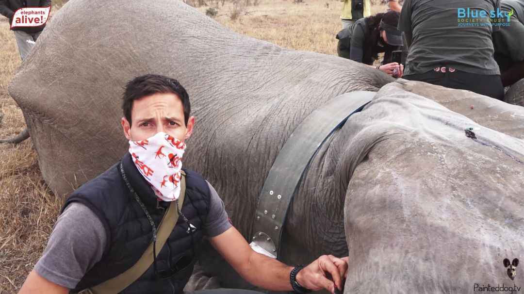 virtual-conservation-painted-dog-tv-29-elephant-collaring